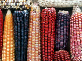 Varieties of Corn that Lacandons Grow in Their Milpas  Selva Lacandona  Naha  Chiapas  Mexico