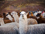 Llama and Alpaca Herd  Lares Valley  Cordillera Urubamba  Peru