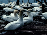 Beautiful Gannets Nesting