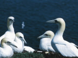 Beautiful Gannets Nesting