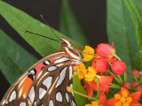 Gulf Fritillary Butterfly on Milkweed Flowers  Florida