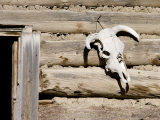 Cattle Skull on Cabin near Salmon  Idaho  USA