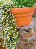 Pot of Flowering Bacopa at Viansa Winery  Sonoma Valley  California  USA