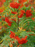 Skunkbush Sumac  Routt National Forest  Colorado  USA
