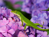 Lizard on Hydrangea  Savannah  Georgia  USA