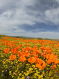 Road through Poppies  Antelope Valley  California  USA