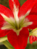 Red Amaryllis  Edgewater  Florida