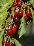 Flathead Cherries in Polson  Montana  USA