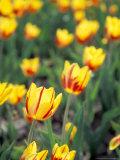 Backlit La Courtine Tulips  Holland  Ottowa County  Michigan  USA