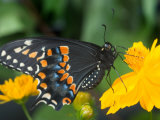 Male Black Swallowtail on Yellow Cosmos  Florida