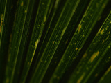 Close-up of the Texture on Palm Frond Leaves