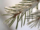 Close-up of Cold Pine Needles Covered with Snow