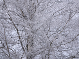 A Large Tree with Many Branches Covered with Cold White Snow