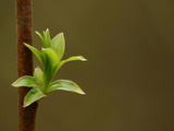 Close-up of a Brown Branch and a Fresh Green Leafy Bud
