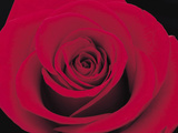 A Single Dramatic Scarlet Rose Bloom