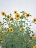 Cheerful Yellow Sunflowers