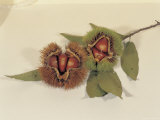 Fresh Hazel Nuts in Shells on a Twig