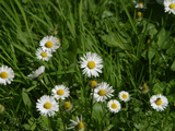 Bright White and Yellow Daisies Against Green Grass
