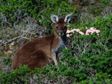 Western Grey Kangaroo (Macropus Fuliginosus) Feeding on Flowering Heath  Australia