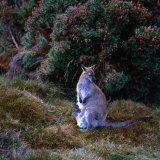 Bennett's Wallaby with Joey, Cradle Mountain-Lake St. Clair National Park, Australia Papier Photo par Wes Walker