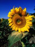 Sunflower Detail  Geelong  Victoria  Australia