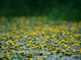 Small Flowering Lilipads on Tisza Lake (Tisza To)  Tiszafured  Hungary