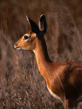 Steenbok in Portrait  Kruger National Park  Kruger National Park  Mpumalanga  South Africa
