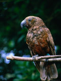 The New Zealand Kaka (Nestor Meridionalis) or the Brown or Bush Parrot  New Zealand