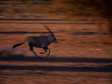 Gemsbok or South African Oryx on the Run  Kgalagadi Transfrontier Park  Northern Cape  South Africa