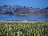 Cardon Cactus (Pachycereus Pringlei) Covers the Desert Landscape of the Baja Peninsula  Mexico