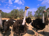 Blue-Necked Ostriches at Shaumari Wildlife Reserve  Azraq  Amman  Jordan
