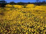 Desert Annual Wildflowers After Rain  Kalbarri National Park  Australia
