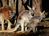 Male  Female and Joey Red Kangaroos (Macropus Rufus)  Australia