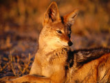 Black-Backed Jackal (Canis Mesomelas)  Hwange National Park Matabeleland North  Zimbabwe