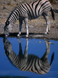 Burchell's Zebra Drinking at Water-Hole  Etosha National Park  Kunene  Namibia