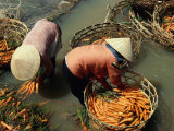 Women Washing Carrots in River Water Da Lat  Lam Dong  Vietnam