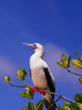 Red-Footed Booby Above the Mangroves  Galapagos  Ecuador