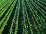 Grapevines  Yarra Ridge Vineyard - Yarra Valley  Victoria  Australia