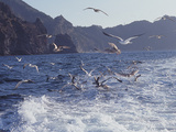 Seagulls Diving for Fish in the Sea