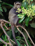 The Blue or Syke's Monkey (Cercopithecus Mitis)  Ngorongoro Conservation Area  Arusha  Tanzania