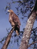Tawny Eagle (Aquila Rapax) Perched in Tree  Masai Mara National Reserve  Rift Valley  Kenya