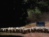 Truck Herding Sheep  Tasmania  Australia