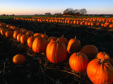 Pumpkins Lined Up Waiting for Transport to Market  Skane  Sweden
