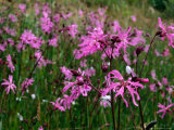 Ragged-Robin or Pink (Caryophyllaceae)  High Altitude Herb  County Clare  Ireland