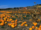 Pumpkin Patch Beside Highway 1  San Mateo County  USA