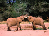 Young Elephants (Loxodonta Africana) Bulls Greeting  Samburu National Reserve  Rift Valley  Kenya