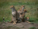 Mother Cheetah (Acinonyx Jubatus) with Cubs  Masai Mara National Reserve  Rift Valley  Kenya