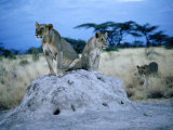 Pair of Female Lions (Panthera Leo) Sitting on Termite Hill  Eastern  Kenya