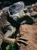 Close-Up of a Green Iguana (Iguana Iguana)  Costa Rica