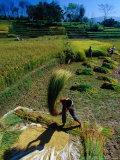 Threshing Rice in Kathmandu Valley  Kathmandu  Nepal